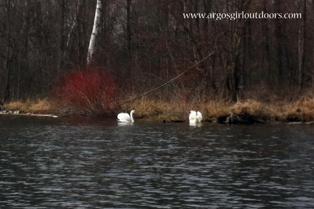 The swans were enjoying some sun.