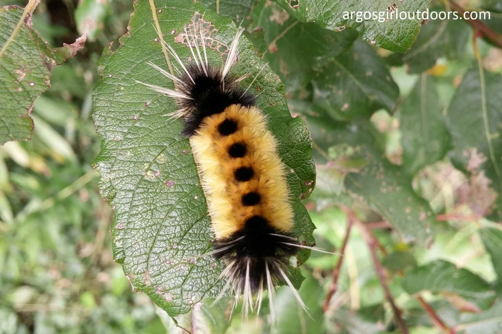 spotted tussock caterpillar